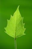 πράσινο φύλλο Στοκ εικόνες με δικαίωμα ελεύθερης χρήσης