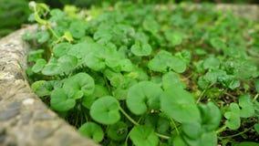 Πράσινο φύλλο nummularia Pratia φύσης lam στο βοτανικό κήπο της Ταϊβάν Ταϊπέι φιλμ μικρού μήκους