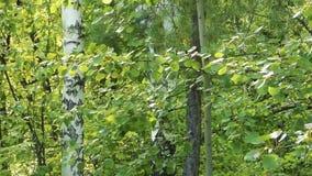 Πράσινο φύλλωμα που κινείται στον αέρα, δέντρο σημύδων πίσω φιλμ μικρού μήκους