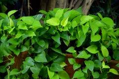 Πράσινο φύλλωμα του κισσού του διαβόλου, χρυσά pothos, τήβεννος του κυνηγού, βιογραφικό σημείωμα υφάσματος aureum Epipremnum tric στοκ φωτογραφία με δικαίωμα ελεύθερης χρήσης