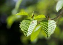 πράσινο φύλλο λαμπριτσών Στοκ Εικόνες