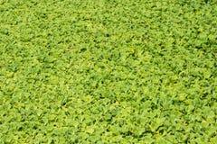 πράσινο φύλλο ανασκόπηση&sigmaf στοκ εικόνα με δικαίωμα ελεύθερης χρήσης