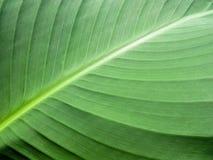 πράσινο φύλλο ανασκόπηση&sigmaf Στοκ Εικόνα