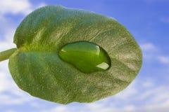 Πράσινο φύλλο από μια flowerpot βιολέτα στοκ φωτογραφίες