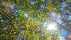 Πράσινο φύλλο η ηλιόλουστη ημέρα, γραμμές ψηλού πράσινου δέντρου από την κατώτατη άποψη, άποψη μέσω των δέντρων φιλμ μικρού μήκους