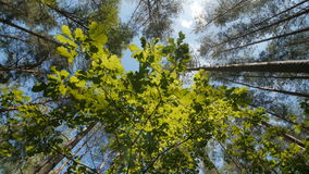 Πράσινο φύλλο η ηλιόλουστη ημέρα, γραμμές ψηλού πράσινου δέντρου από την κατώτατη άποψη, άποψη μέσω των δέντρων απόθεμα βίντεο