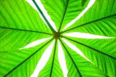 Πράσινο φύλλο κάστανων που απομονώνεται την άνοιξη Στοκ φωτογραφίες με δικαίωμα ελεύθερης χρήσης