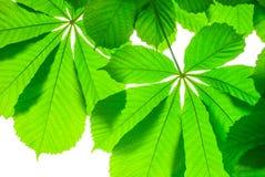 Πράσινο φύλλο κάστανων που απομονώνεται την άνοιξη Στοκ εικόνες με δικαίωμα ελεύθερης χρήσης