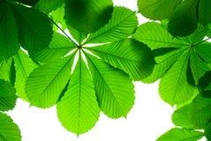 Πράσινο φύλλο κάστανων που απομονώνεται την άνοιξη Στοκ Εικόνες
