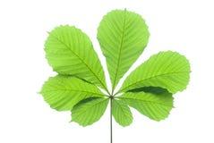 Πράσινο φύλλο κάστανων που απομονώνεται την άνοιξη Στοκ εικόνα με δικαίωμα ελεύθερης χρήσης