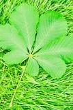 Πράσινο φύλλο κάστανων που βρίσκεται στη νέα χλόη Στοκ εικόνα με δικαίωμα ελεύθερης χρήσης