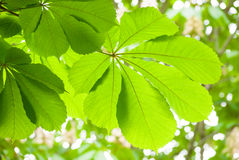 Πράσινο φύλλο κάστανων την άνοιξη Στοκ φωτογραφία με δικαίωμα ελεύθερης χρήσης