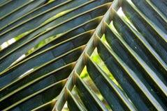 Πράσινο φύλλο καρύδων Στοκ φωτογραφία με δικαίωμα ελεύθερης χρήσης