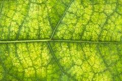 Πράσινο φύλλο κινηματογραφήσεων σε πρώτο πλάνο για το υπόβαθρο Στοκ φωτογραφία με δικαίωμα ελεύθερης χρήσης