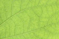 Πράσινο φύλλο κινηματογραφήσεων σε πρώτο πλάνο για το υπόβαθρο Στοκ Εικόνα
