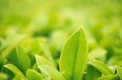 Πράσινο φύλλο κινηματογραφήσεων σε πρώτο πλάνο στον κήπο κάτω από το φως του ήλιου Φυσικό πράσινο σχέδιο Στοκ Εικόνες