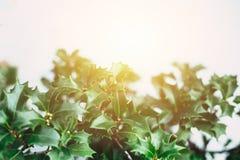 Πράσινο φύλλο κινηματογραφήσεων σε πρώτο πλάνο φυτών Χριστουγέννων Στοκ φωτογραφία με δικαίωμα ελεύθερης χρήσης