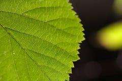 πράσινο φύλλο κινηματογραφήσεων σε πρώτο πλάνο Στοκ Εικόνες