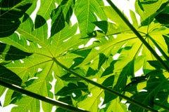 Πράσινο φύλλο κινηματογραφήσεων σε πρώτο πλάνο papaya Στοκ Εικόνες