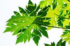Πράσινο φύλλο κινηματογραφήσεων σε πρώτο πλάνο papaya Στοκ εικόνα με δικαίωμα ελεύθερης χρήσης