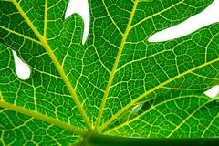 Πράσινο φύλλο κινηματογραφήσεων σε πρώτο πλάνο papaya Στοκ φωτογραφία με δικαίωμα ελεύθερης χρήσης