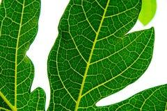 Πράσινο φύλλο κινηματογραφήσεων σε πρώτο πλάνο papaya Στοκ φωτογραφίες με δικαίωμα ελεύθερης χρήσης