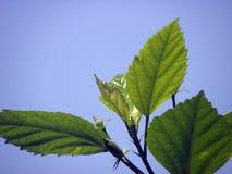 Πράσινο φύλλο με την ανασκόπηση ουρανού Στοκ Φωτογραφίες