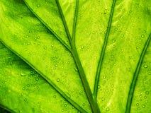 Πράσινο φύλλο με τις πτώσεις νερού αναδρομικά φωτισμένες με τον ήλιο, αφηρημένο Backgroun Στοκ Εικόνες