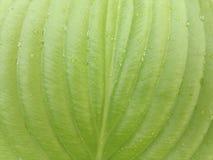 Πράσινο φύλλο με τις πτώσεις των οικοδεσποτών νερού στοκ εικόνα με δικαίωμα ελεύθερης χρήσης