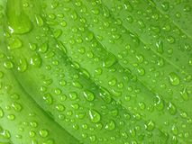 πράσινο φύλλο με το νερό πτώσης Στοκ εικόνες με δικαίωμα ελεύθερης χρήσης