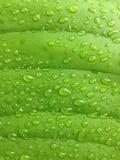 πράσινο φύλλο με το νερό πτώσης Στοκ εικόνα με δικαίωμα ελεύθερης χρήσης