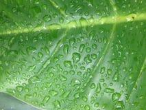 πράσινο φύλλο με το νερό πτώσης Στοκ Εικόνες