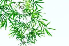 Πράσινο φύλλο μπαμπού στο άσπρο υπόβαθρο Στοκ φωτογραφία με δικαίωμα ελεύθερης χρήσης