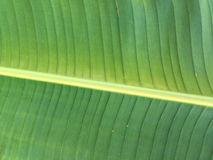 πράσινο φύλλο μπανανών Στοκ Εικόνα
