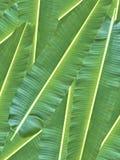πράσινο φύλλο μπανανών Στοκ Φωτογραφία