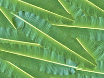 πράσινο φύλλο μπανανών Στοκ Εικόνες