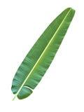 πράσινο φύλλο μπανανών Στοκ εικόνες με δικαίωμα ελεύθερης χρήσης