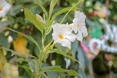 Πράσινο φύλλο λουλουδιών ομορφιάς άσπρο Στοκ Φωτογραφία