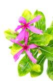 πράσινο φύλλο λουλουδ& Στοκ Φωτογραφία