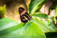 πράσινο φύλλο πεταλούδων Στοκ Φωτογραφία