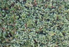Πράσινο φύλλο πεύκων Στοκ Φωτογραφία