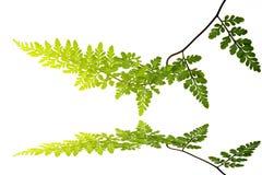 Πράσινο φύλλο που απομονώνεται σε ένα άσπρο υπόβαθρο Στοκ εικόνα με δικαίωμα ελεύθερης χρήσης