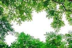 Πράσινο φύλλο που απομονώνεται στο άσπρο υπόβαθρο Στοκ Εικόνες
