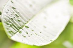 πράσινο φύλλο δροσιάς Στοκ εικόνα με δικαίωμα ελεύθερης χρήσης