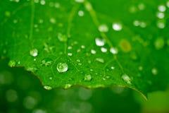 πράσινο φύλλο δροσιάς Στοκ Φωτογραφίες