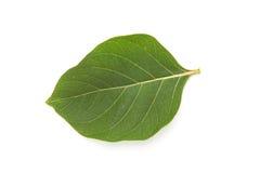 Πράσινο φύλλο σε μια άσπρη ανασκόπηση Στοκ φωτογραφίες με δικαίωμα ελεύθερης χρήσης