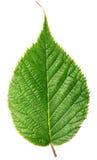 Πράσινο φύλλο σμέουρων που απομονώνεται στο λευκό Στοκ Εικόνα