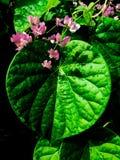 Πράσινο φύλλο στη μορφή καρδιών Στοκ Εικόνες