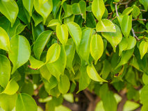 Πράσινο φύλλο στο δέντρο Στοκ Εικόνα