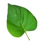 Πράσινο φύλλο στο λευκό Στοκ φωτογραφία με δικαίωμα ελεύθερης χρήσης
